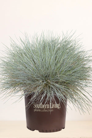 Southern Living Festuca Beyond Blue (2.5 Quart)