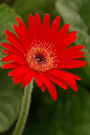 Southern Living Scarlet Drakensberg Daisy Hardy Gerbera (2 Gallon)