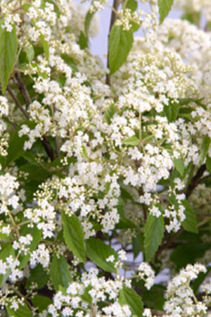 Southern Living Snow Joey Viburnum (2 Gallon)