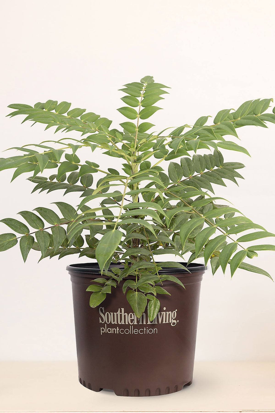 Southern Living Mahonia Marvel (2 Gallon)
