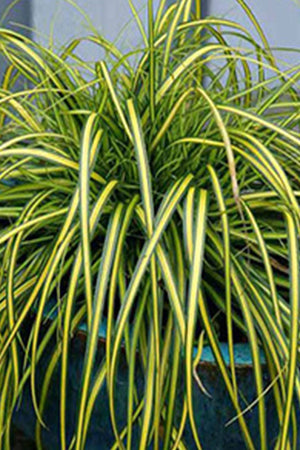 Southern Living EverColor Eversheen Carex (2.5 Quart)