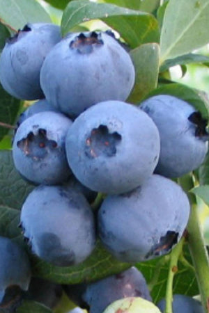 Southern Living Bless Your Heart Blueberry (2.5 Quart)