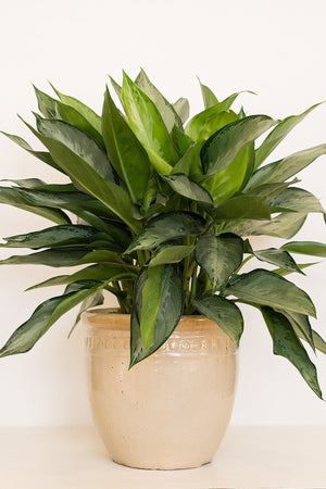 Chinese Evergreen, Aglaonema Silverado (Excludes: CA, AZ, AK, HI, PR)