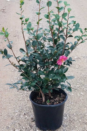 Kanjiro Camellia (Sasanqua), Flowering Shrub, 3 Gallon for $ 70.95 at Root 98 Warehouse