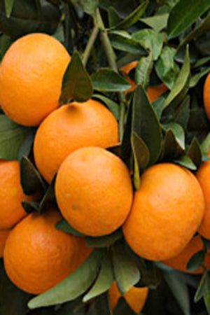Nules Clementine, Fruit Citrus Tree (Excludes: CA, AZ, LA, TX), 1 Gallon for $ 52.95 at Root 98 Warehouse