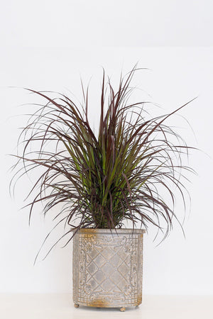 Purple Fountain Grass (State Restrictions Apply)
