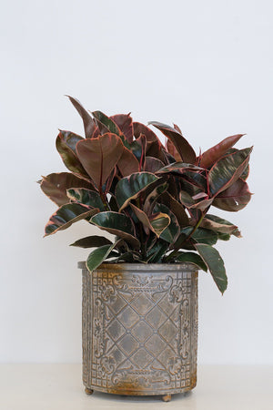 Variegated Tricolor Rubber Ficus Elastica Plant (State Restrictions Apply)