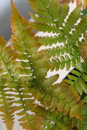Fern Autumn (2.5 Quart)