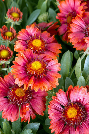 Southern Living Gaillardia Celebration (2.5 Quart)