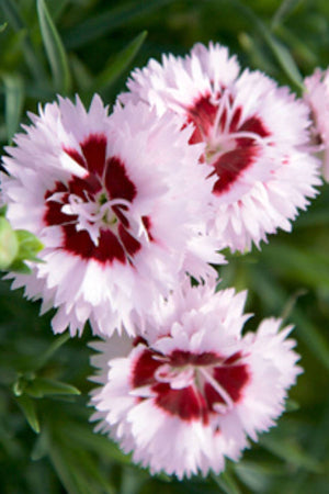 Southern Living Scent First Raspberry Surprise Dianthus (2.5 Quart)