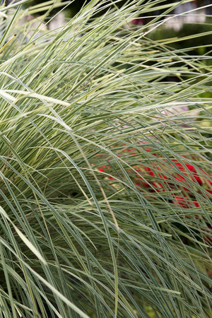 Southern Living Platinum Beauty Lomandra (2.5 Quart)