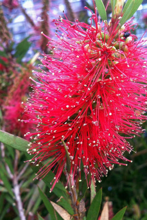 Bottlebrush Scarlet Compacta (3 Gallon)