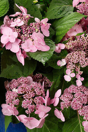 Endless Summer Twist-n-Shout Hydrangea (3 Gallon)