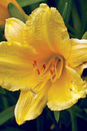 Happy Returns Daylily (2.5 Quart)