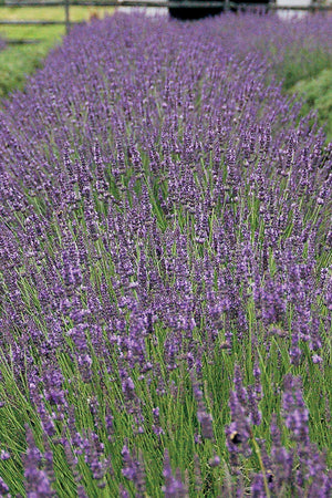 Southern Living Lavender Phenomenal (2.5 Quart)