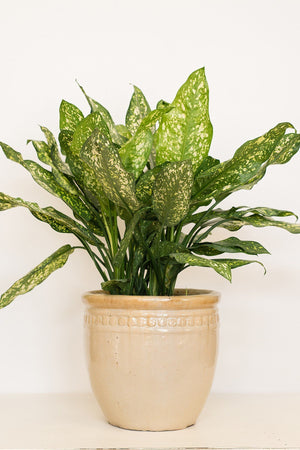 Chinese Evergreen, Aglaonema, Gold Dust (Excludes: CA, AZ, AK, HI, PR)