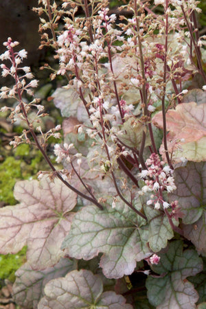 Southern Living Cracked Ice Heucherella (2.5 Quart)