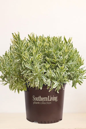 Southern Living Lavender Meerlo (2.5 Quart)