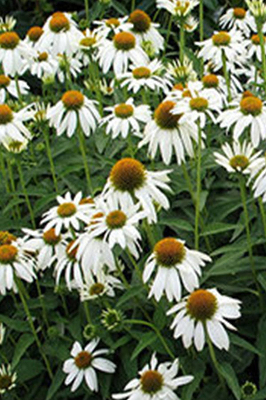 Southern Living Crazy White Echinacea (2.5 Quart)