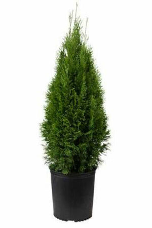 Emerald Green Thuja, Arborvitae (ornamental, evergreen, tree, bush)