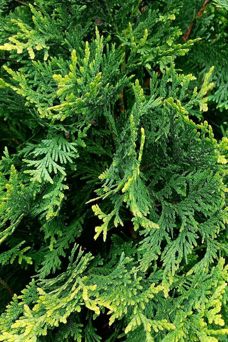 Green Giant Thuja, Arborvitae (ornamental, evergreen, tree, bush, fragrant)