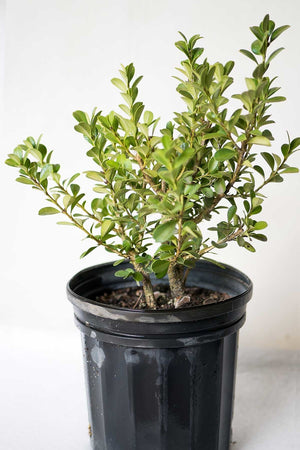 Boxwood Japanese Buxus, Evergreen, (Excludes: CA, AZ, TN, AK, HI, PR)