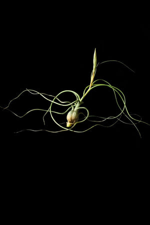 Butzii, Air Plant (Excludes Ca, Az), Size: 1 Pack