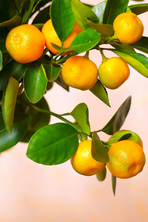 Calamondin Orange Tree, Mandarin Kumquat Hybrid Citrus (Excludes: CA,TX,LA,AZ) for $ 49.95 at Root 98 Warehouse