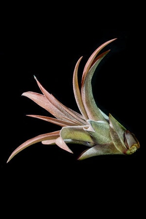 Capitata Peach, Tillandsia Air Plant Bromeliad (Cant Ship AZ CA)