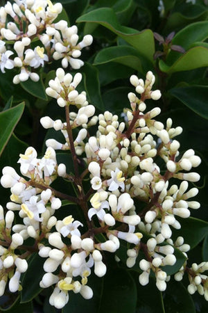 Curly Leaf Ligustrum Recurvifolia (landscape, hedge, green, white flowers) for $ 68.95 at Root 98 Warehouse
