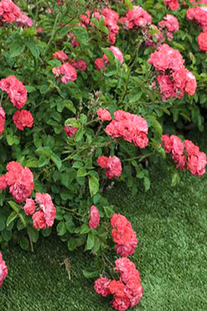 Drift Groundcover Rose Coral (bush, rose, ornamental, fragrant, coral flowers) for $ 41.95 at Root 98 Warehouse
