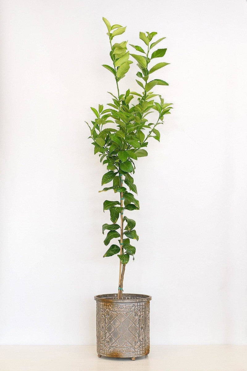 Dwarf Meyer Lemon Tree, Citrus (Excludes Ca, Az, La, Tx), Size: 1 Gallon CitraPot