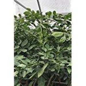 Dwarf Minneola Tangelo Tree, Citrus (Excludes Ca, Az, La, Tx), Size: 1 Gallon CitraPot