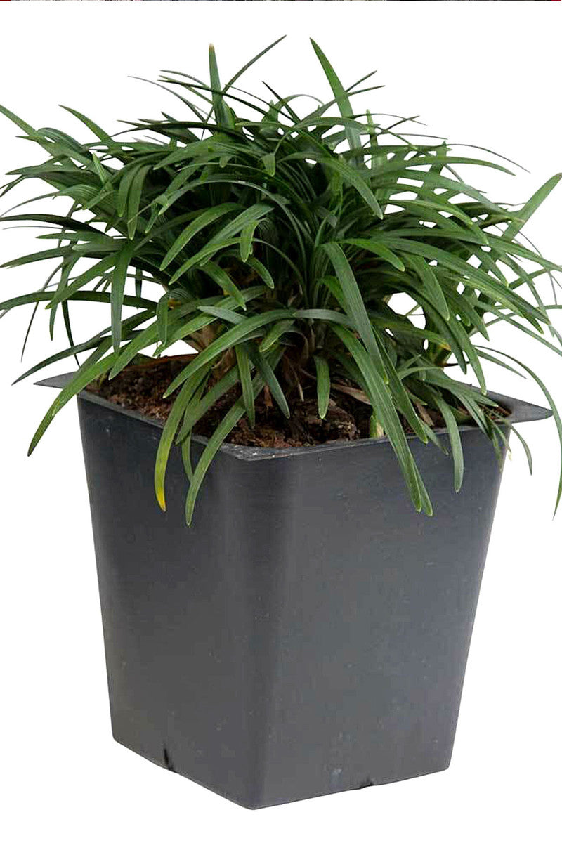 Dwarf Mondo Grass (small grass, evergreen, landscape, ground cover)