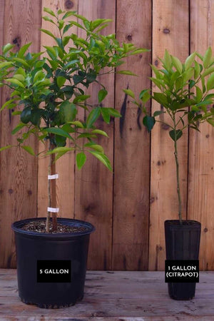 Dwarf Temple Orange Tree, Citrus (Excludes Ca, Az, La, Tx), Size: 1 Gallon CitraPot