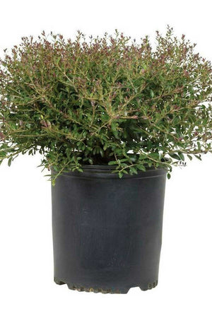 Bordeaux® Holly, Dwarf Yaupon Bordeaux Holly (ornamental, green foliage, bush, shrub)
