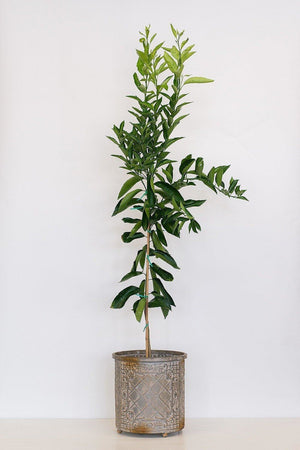 Early Gold Orange Tree, Citrus (Excludes Ca, Az, La, Tx), Size: 1 Gallon CitraPot