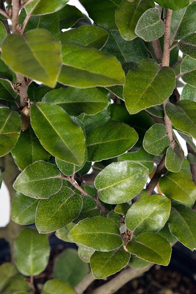 Elaeagnus X Ebbingei (tree, bush, border, green, salt tolerant)