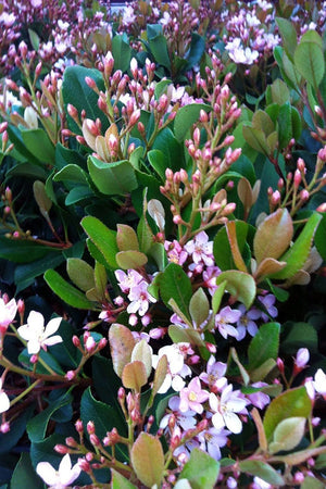 Eleanor Taber™ Indian Hawthorne, Rhaphiolepis indica 'Conor'(bush, shrub, pink flowers, green foliage) for $ 36.95 at Root 98 Warehouse