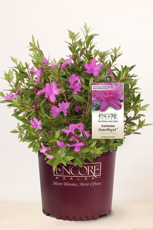 Encore Azalea Autumn Amethyst (ornamental, bush, purple blooms, green foliage) for $ 41.95 at Root 98 Warehouse