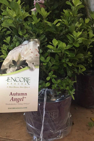 Encore® Autumn Angel™/Rhododendron 'Robleg' PP15227, Reblooming Azalea (white blooms,green foliage) for $ 41.95 at Root 98 Warehouse