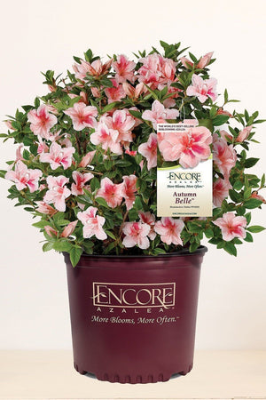 Encore® Azalea Autumn Belle