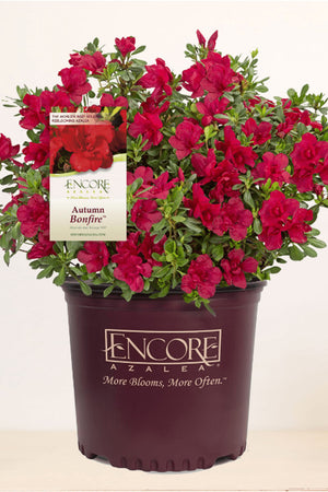 Encore® Autumn Bonfire PPAF for $ 41.95 at Root 98 Warehouse