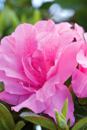 Encore® Autumn Carnation™ PP15339, Azalea