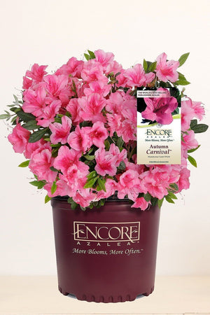 Encore Azalea Autumn Carnival (ornamental, bush, pink blooms, green foliage)