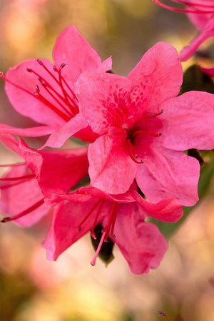 Encore® Azalea Autumn Cheer™ (ornamental, bush, shrub, pink blooms)