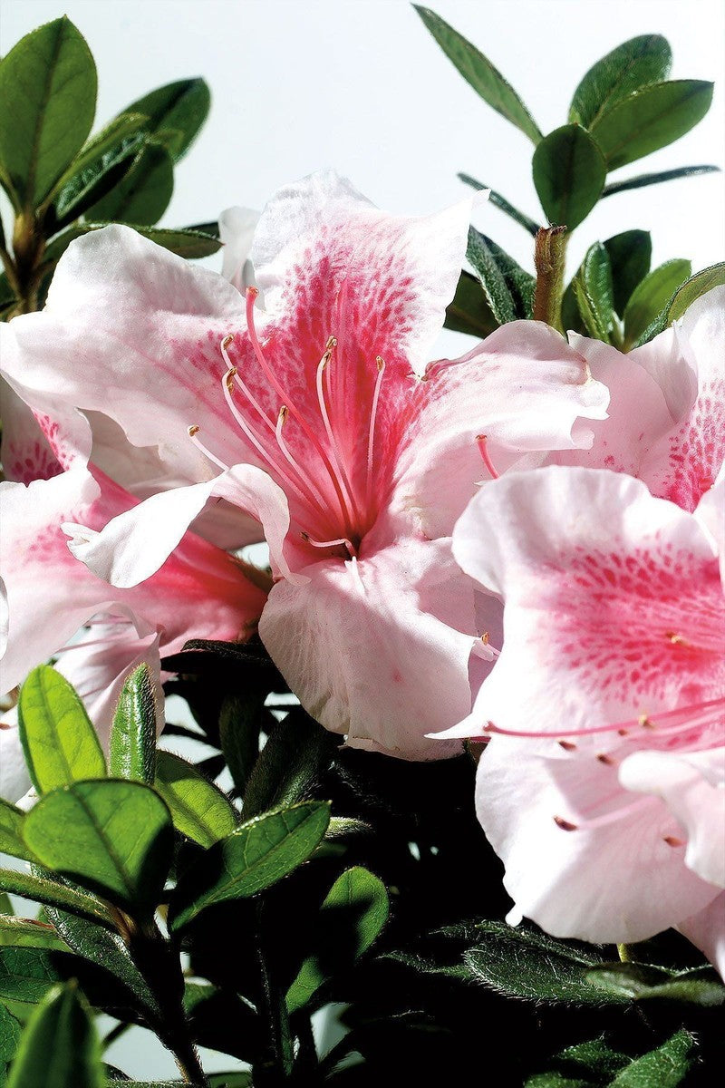 Encore® Autumn Chiffon / Rhododendron 'Robled' PP15862, Reblooming Azalea for $ 41.95 at Root 98 Warehouse