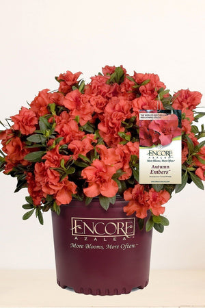 Encore® Autumn Embers TM / Rhododendron 'Conleb', Reblooming Azalea for $ 41.95 at Root 98 Warehouse