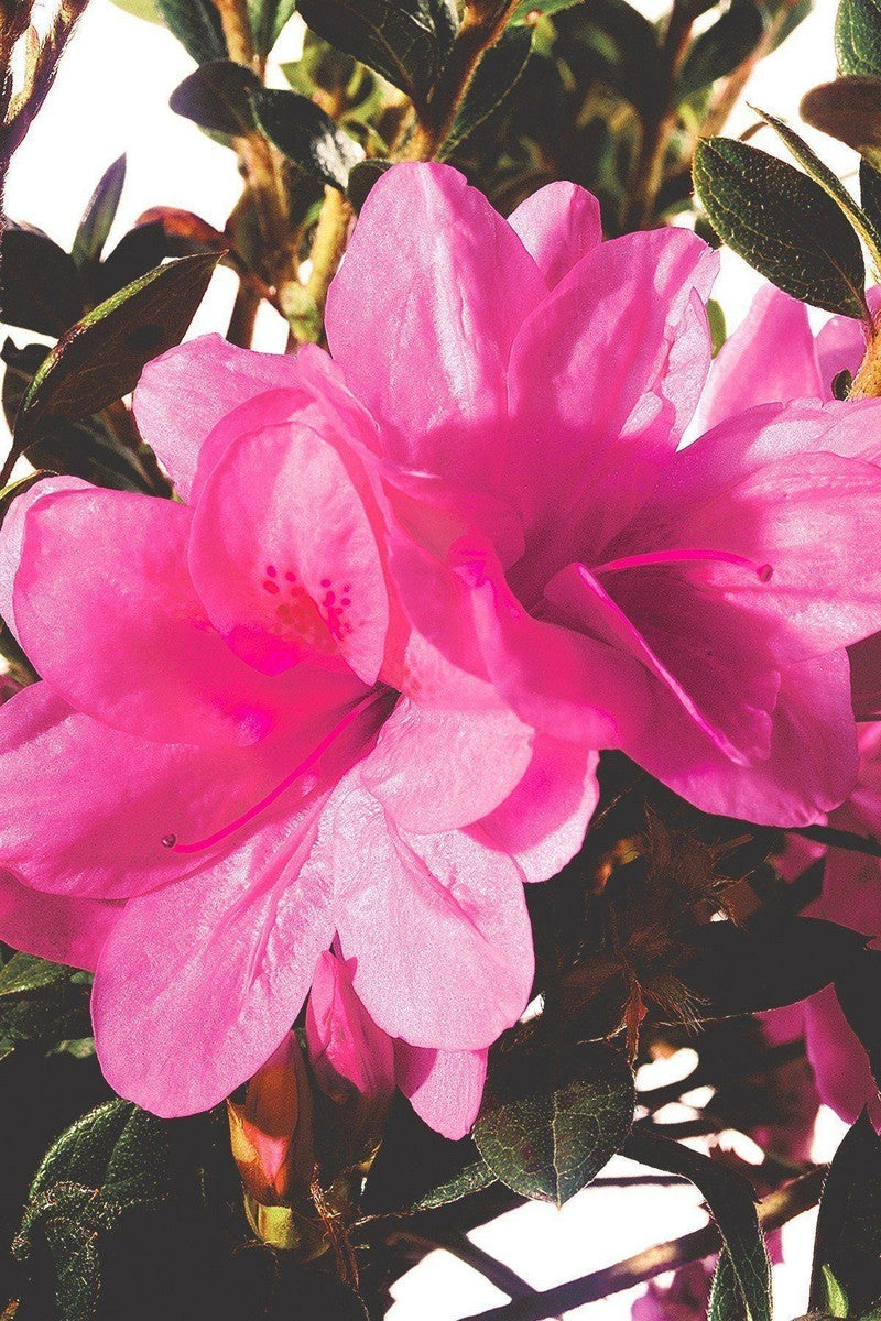 Encore® Autumn Empress™ PP12109, Azalea
