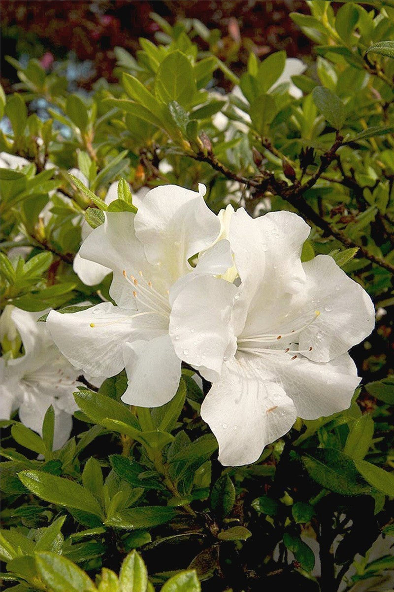 Encore Azalea Autumn Ivory (ornamental,bush,shrub,white blooms,green foliage)